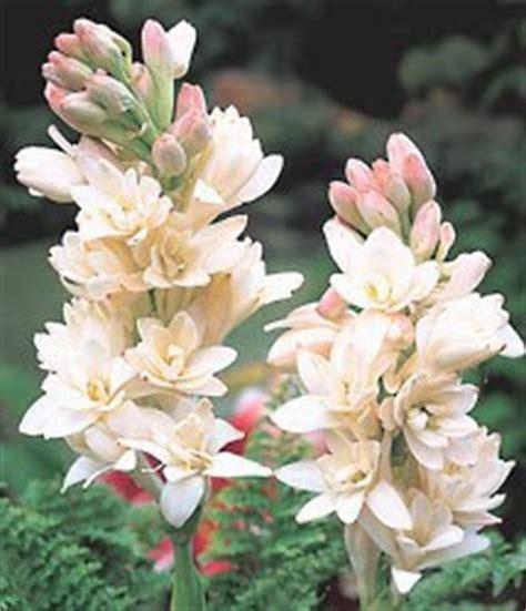 Bibit Bunga Sedap Malam Bandung bunga indah bunga sedap malam