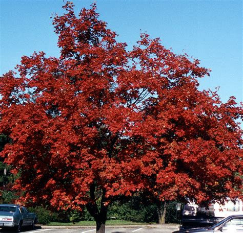 shade tree for small backyard smaller shade trees for your yard including 6 natives