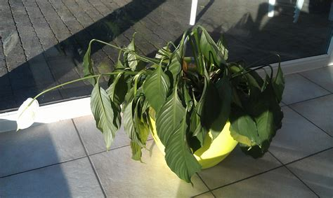 how to revive a dying plant plant health can this peace lily be saved gardening