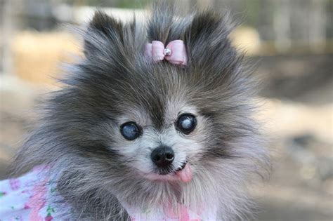 grey pomeranian dressed up pomeranian puppy in grey and white pictures jpg 4 comments hi res 720p hd