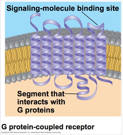 Ch 11- Cell Communication at International Christian ... G Protein Coupled Receptors Gpcrs