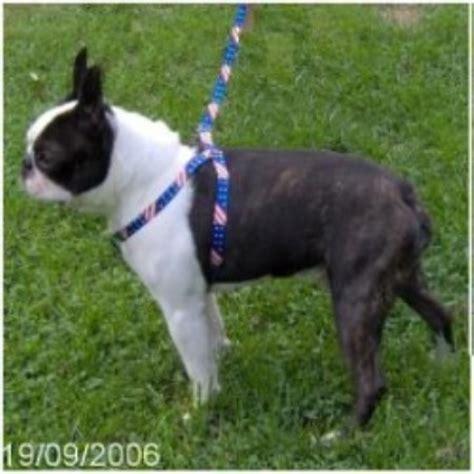 boston terrier puppies virginia hillbilly boston terriers boston terrier breeder in wallace west virginia