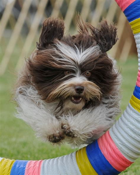 havanese breeders in idaho small breed dogs and their temperaments breeds picture