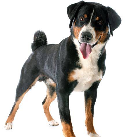imagenes abstractas de un perro appenzeller o perro boyero de appenzell caracter 237 sticas y