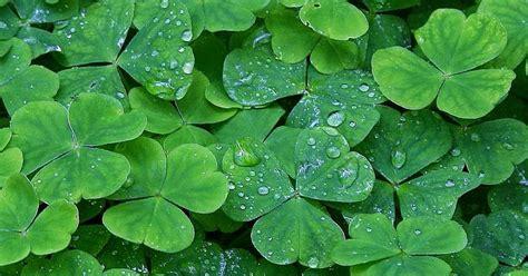 daun semanggi  manfaatnya sharing bareng