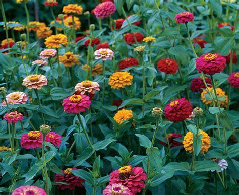 fiori zinnie zinnia flower