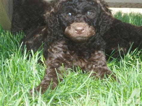 Non Shedding Labradoodle by Labradoodle Puppies Non Shedding F1b S Mini S And