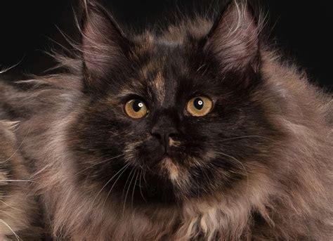 The Tortoiseshell Cat   Cat Breeds Encyclopedia