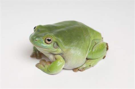 white s tree frogs as pets pets4homes