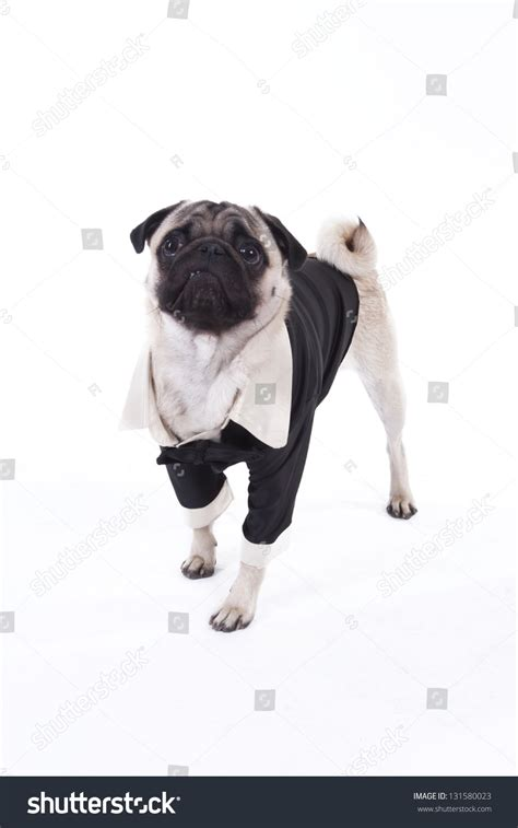 pug tuxedo pug wearing tuxedo isolated on stock photo 131580023
