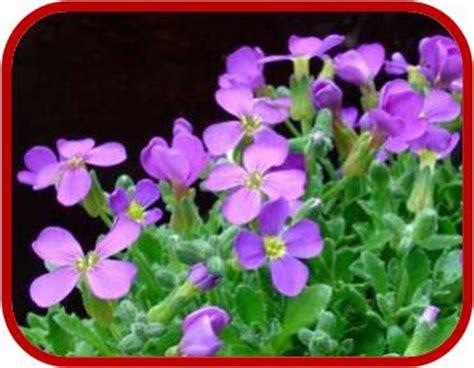 fiori per bordure basse aubrezia consigli coltivazione e cura
