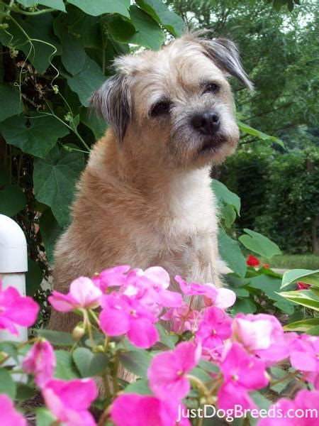 scruffy breeds scruffy border terrier breeds
