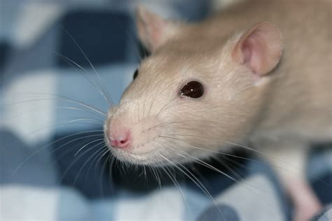 what do whiskers do for a rat health infection blindness understanding pet fancy rats