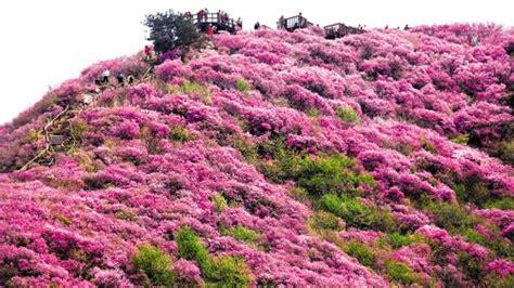 Karpet Gunung sajikan pemandangan indah haran bunga di gunung georyo