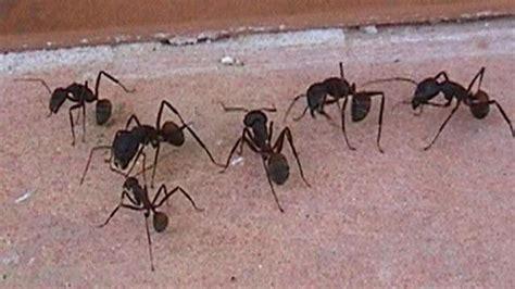 acabar con hormigas en casa acabar con hormigas en casa cmo acabar con las hormigas
