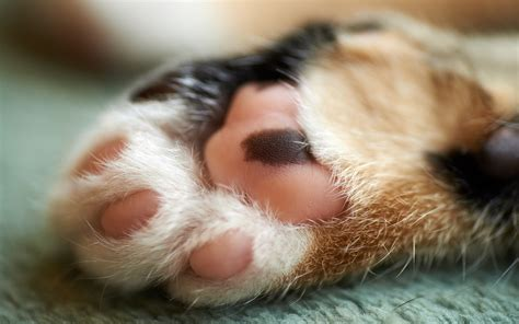 wallpaper cat paw cat paw wallpaper best hd wallpapers
