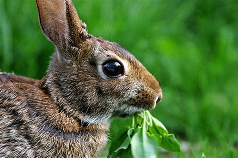 how to get rid of bunnies in backyard how to get rid of bunnies in backyard 28 images how to get rid of rabbits living