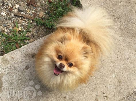 micro pomeranians for sale micro pomeranian puppy for sale puppy