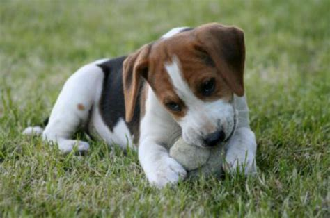 best thing for teething puppy stop puppy biting free puppy tips how to a puppy