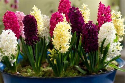 in door plant put in pot vide indoor gardening with hyacinths color fragrance