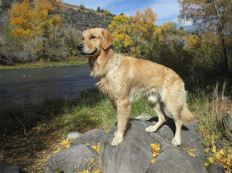 looking for golden retriever article provides detailed look at participants in golden retriever lifetime study
