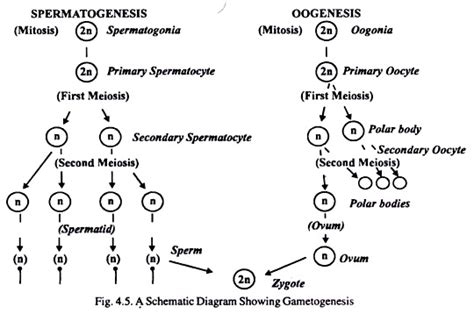 oogenesis flowchart oogenesis flowchart flowchart in word