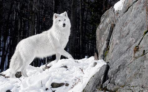 black and white wolf 18 desktop background white wolf wallpaper hd desktop wallpapers 4k hd