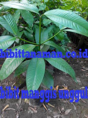 Bibit Durian Bawor Serang jual bibit manggis bibit manggis unggul bibit manggis