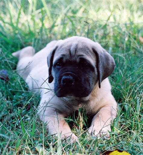 dog houses south africa tank the south african boerboel puppies daily puppy