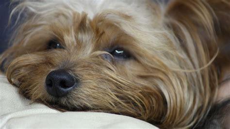free wallpaper yorkies yorkshire terrier wallpapers hd download