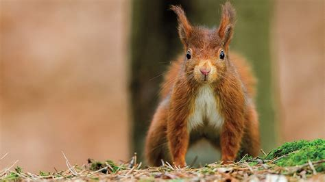 squirrel images the bloody battle to save the squirrel science aaas