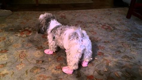 shoes for shih tzu shih tzu wearing shoes