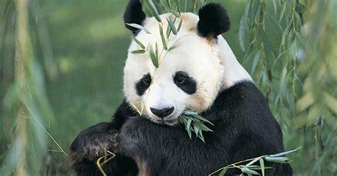 Panda And Terbaru foto lucu binatang panda terbaru display picture unik
