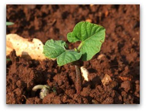 baby plants growing runner beans in your garden