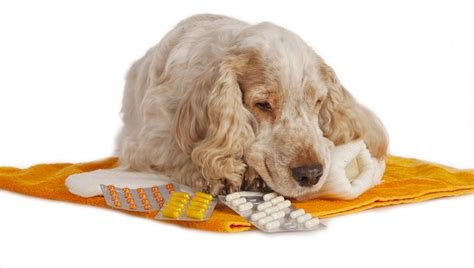 gabapentin for dogs gabapentin for dogs uses dosage and side effects dogtime