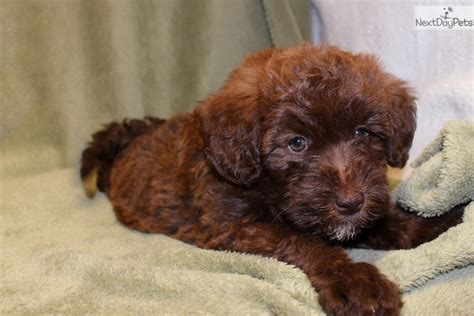 whoodle puppies for sale near me whoodle puppy for sale near joplin missouri 267ad244 bc21