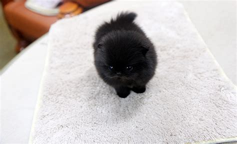 black teacup pomeranian for sale high quality teacup black pomeranian puppy flickr photo