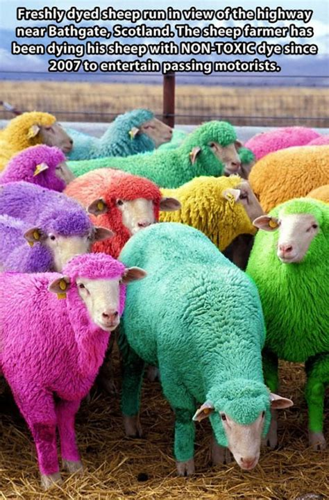 colored sheep freshly dyed sheep