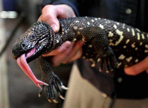 guatemalan beaded lizard 508 best images about gila monsters on