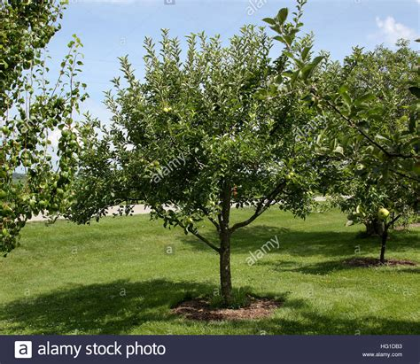 apple tree in my backyard semi dwarf apple tree in backyard orchard in mid season stock photo royalty free