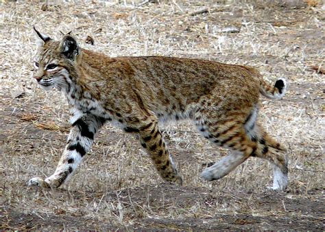 State Could Ban Bobcat Trapping at Upcoming Meeting in ...