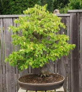 garten bonsai kaufen welchen outdoor garten bonsai kaufen bonsai lexikon