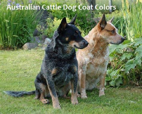 australian cattle colors a guide to australian cattle coat colors pethelpful