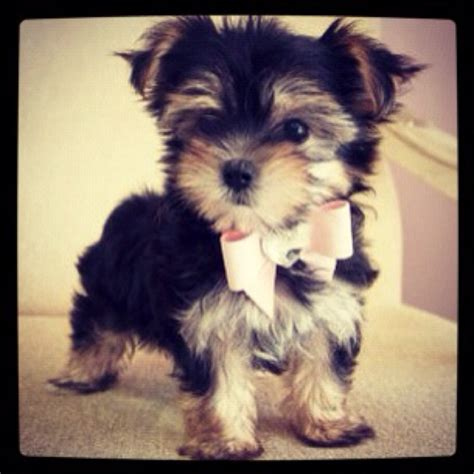 i want a yorkie 45 best images about puppy on adoption yorkie and information about