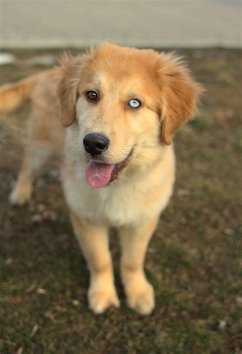 mixed golden retrievers golden retriever husky mix puppies for sale www proteckmachinery