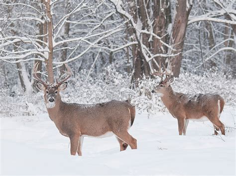 Snowing Deer whitetail bucks in snow www pixshark