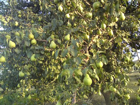 a tree that does not fruit 1000 images about pear trees ect on