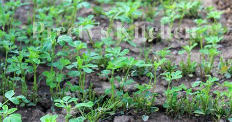 matar a platn preety s kitchen my vegetable garden in spring 2013