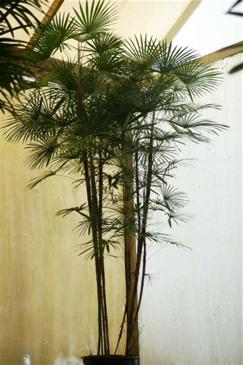 schöne große zimmerpflanzen palmenarten zimmerpflanzen wirken sehr sch 246 n archzine net