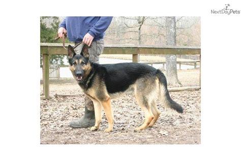 house broken dog german shepherd puppy for sale near southeast missouri missouri 95710a9f e701